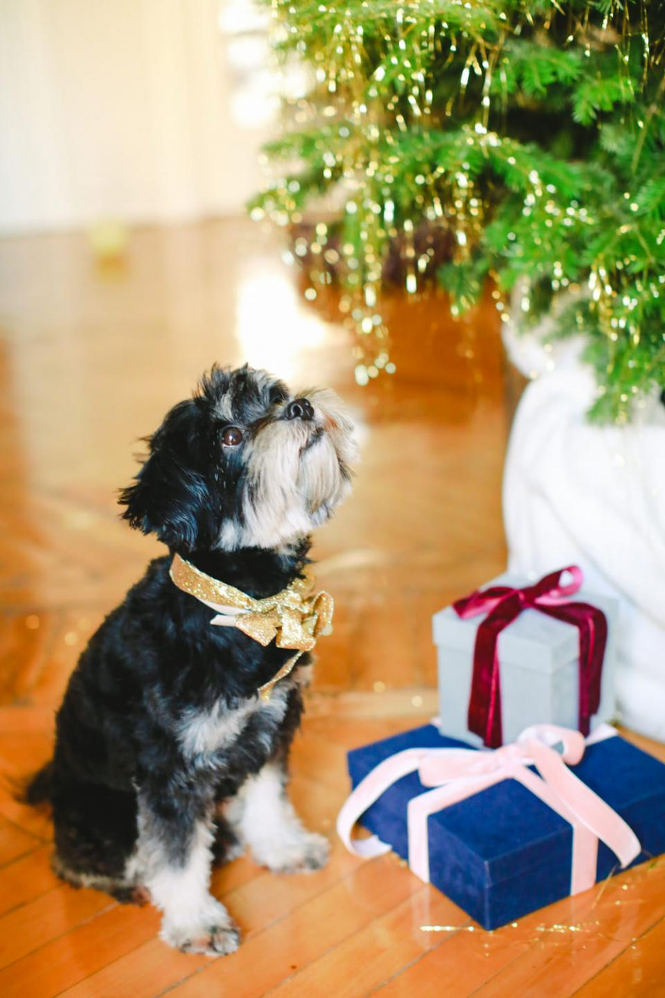 Christmas dog- Badu from Tie the knot